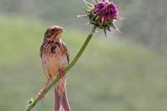 emberiza-calandra-corn-bunting-bird-sitting-thistle-flower-dark-green-background-corn-bunting-bird-sitting-thistle-182250558