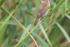 eurasian-reed-warbler-perched-reed-plant-acrocephalus-scirpaceus-perches-branch-s-characteristic-habitat-56890258