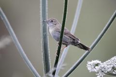 grasshopper-warbler-locustella-naevia-single-bird-branch-midlands-june-32108907