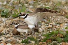 pair-little-ringed-plovers-mating-shingle-spit-taken-blashford-lakes-ringwood-uk-pair-little-ringed-plovers-mating-146851426
