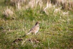 skylark-bird-standing-field-215730595