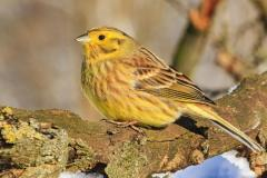 yellow-bird-warmes-up-winter-sun-wild-nature-yellow-bird-warmes-up-winter-sun-131004395